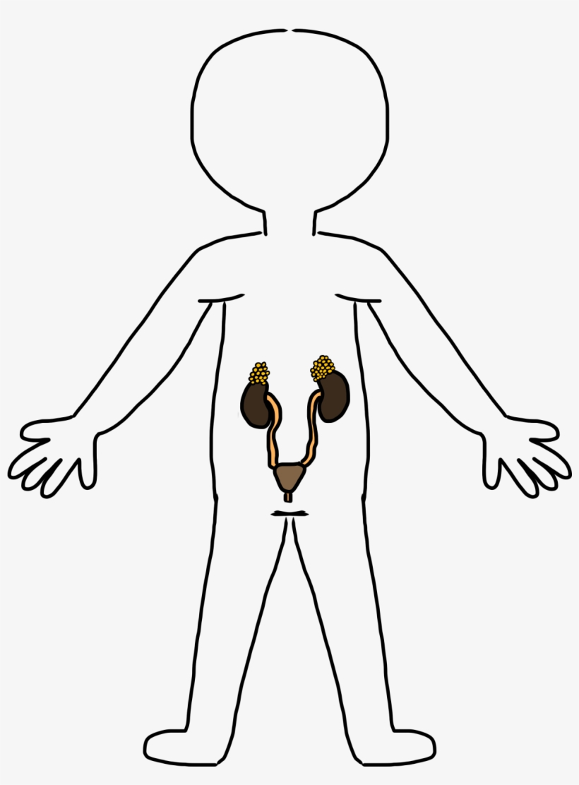 Clipart Body Outline Heart Circulatory System Clipart Black And