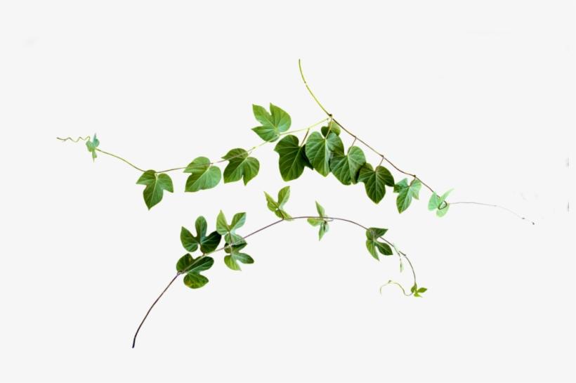 Vine Png Clip Black And White Download - Leaf Vine Png, transparent png #90497