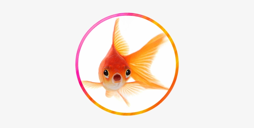 Animal World Wonderville Gold Fish Hd Wallpapers 1080p Free