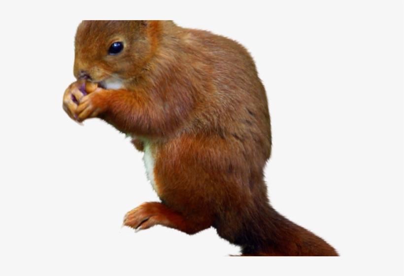 Squirrel Png Transparent Images - Fox Squirrel, transparent png #91724