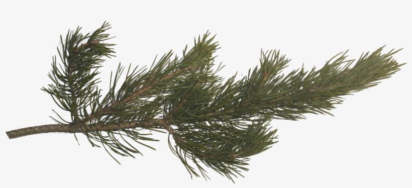 Pine Branch, Pine Tree, Tree Branches, Pictures Images, - Pine Tree Branch Png, transparent png #96233