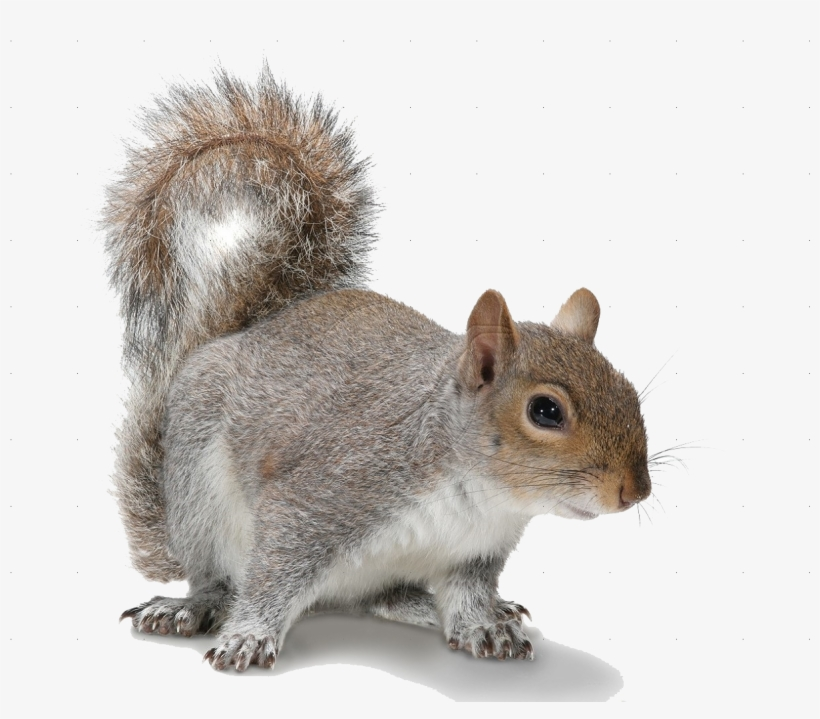 Banner Free Download Png Images For Free Download On - Grey Squirrel White Background, transparent png #97919