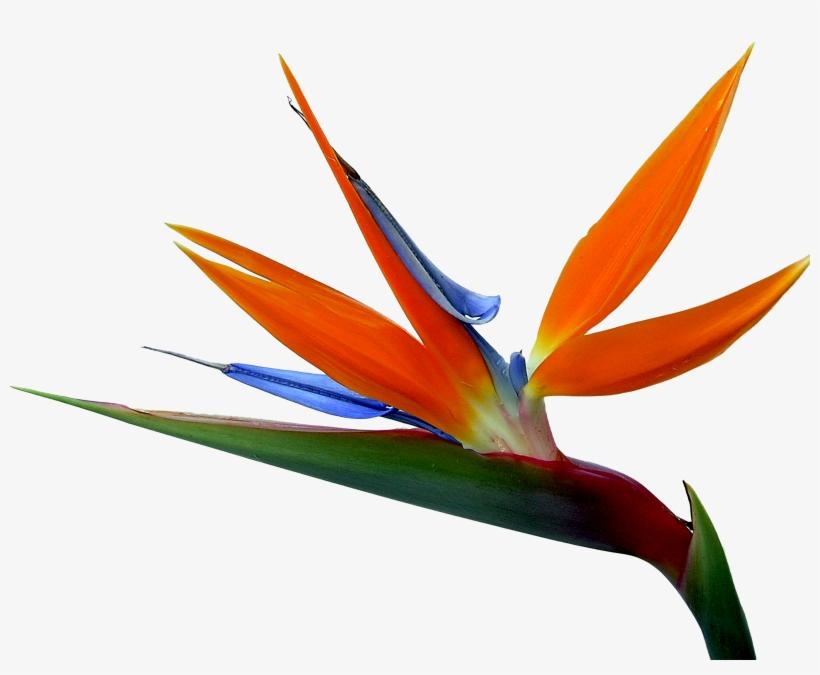 And Strelitzia Bird Of Paradise Reginae Birds Flowers - Bird Of Paradise, transparent png #9054202