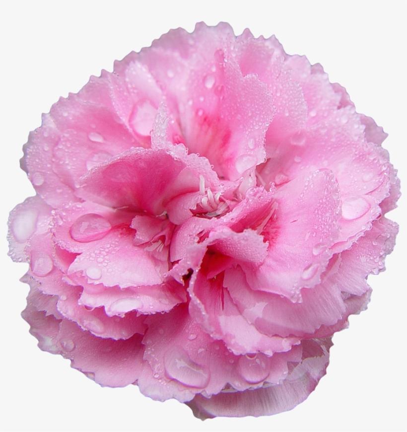 """""""pink Carnation - Carnation Transparent, transparent png #913299"""
