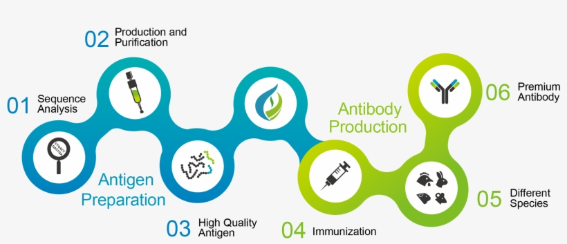 We Are Able To Develop Antibodies According To Our - Graphic Design, transparent png #9361039