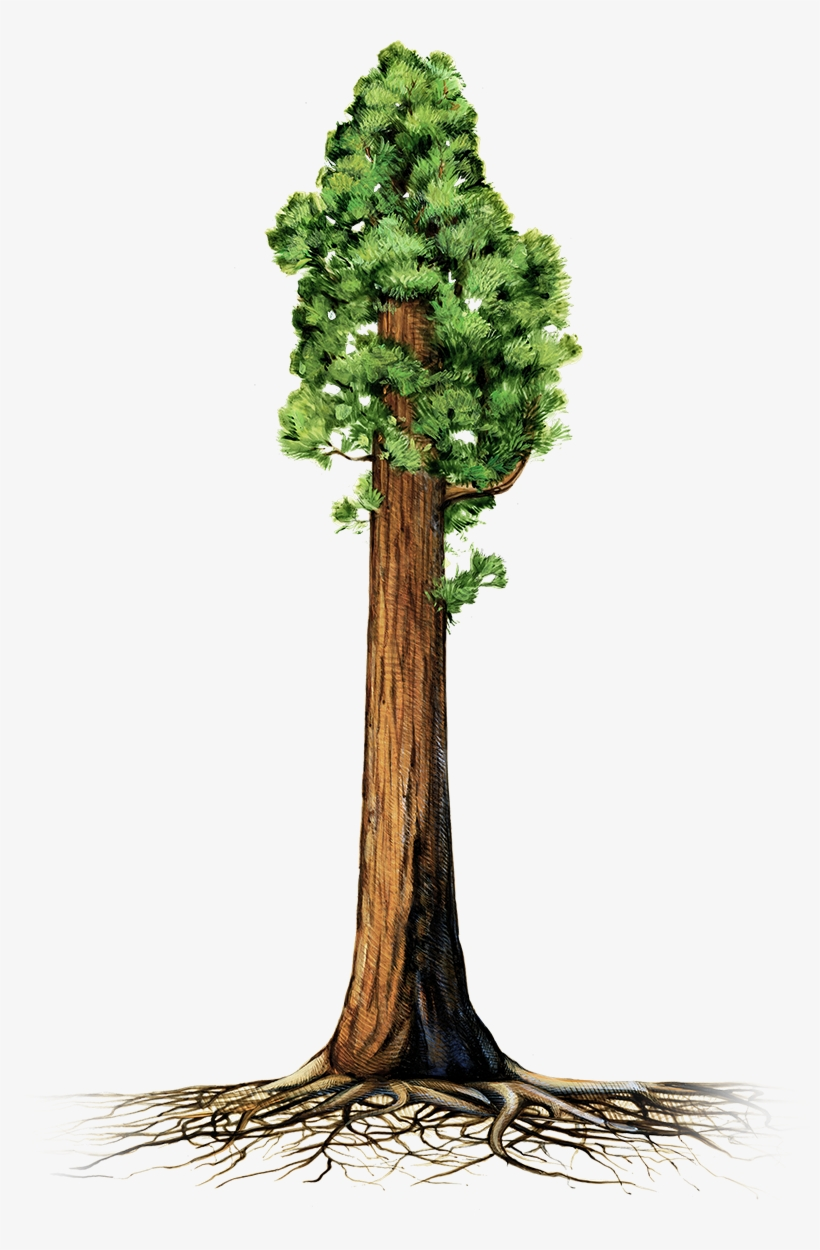 Are Giant Sequoia Trees Succumbing To Drought - Giant Redwood Tree Clipart, transparent png #945686