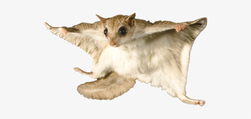 Flying Squirrel - Flying Squirrel With No Background, transparent png #954020