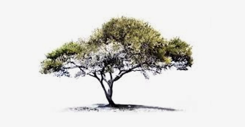 While These Plants And Areas Will Not Be Individually - Acacia Tree Sketch Drawing, transparent png #958757