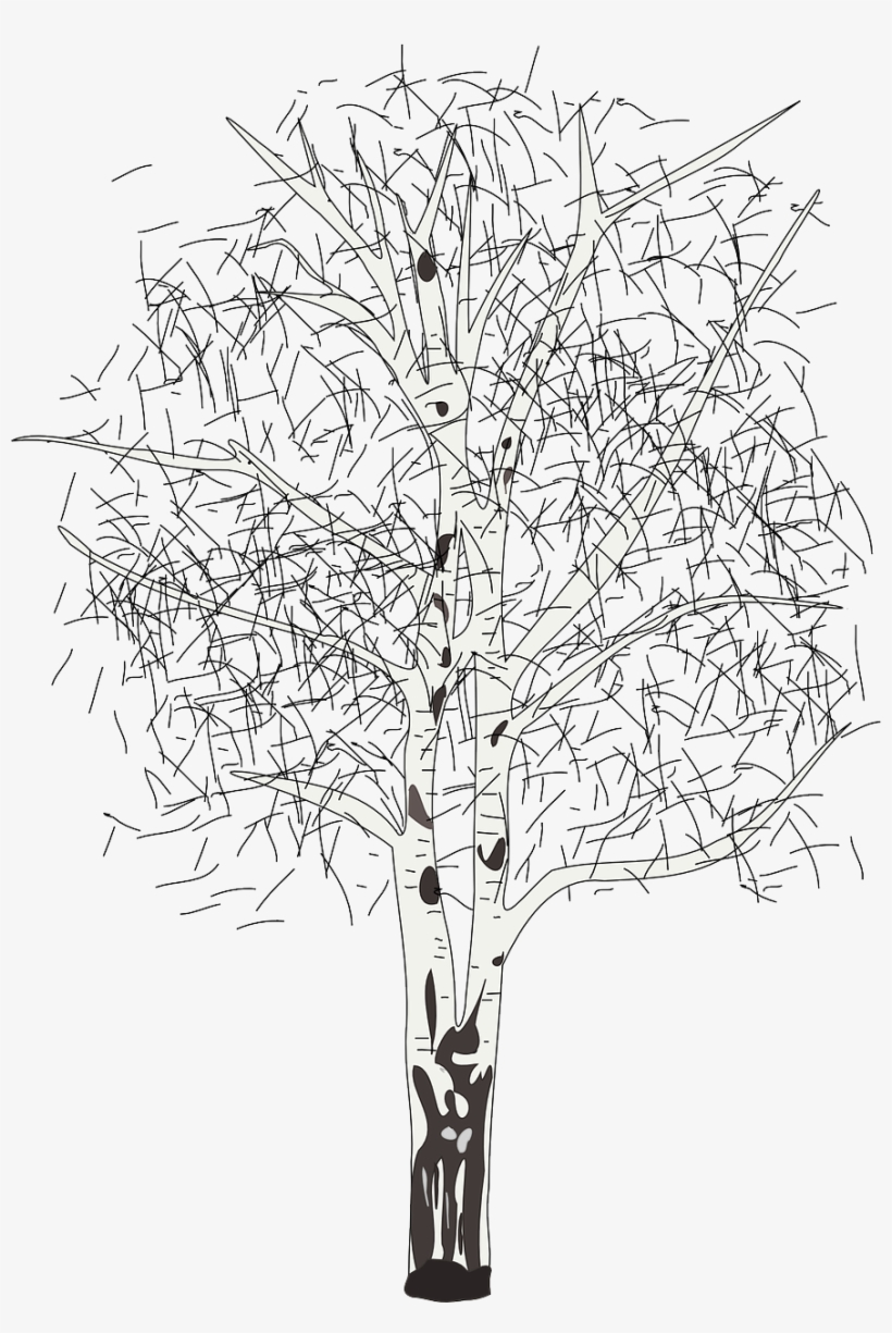 17 - Birch - Silver Birch Tree Clipart, transparent png #9545846