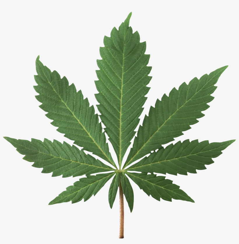 Cannabis Plant Png Image - Marijuana Jpg, transparent png #969759