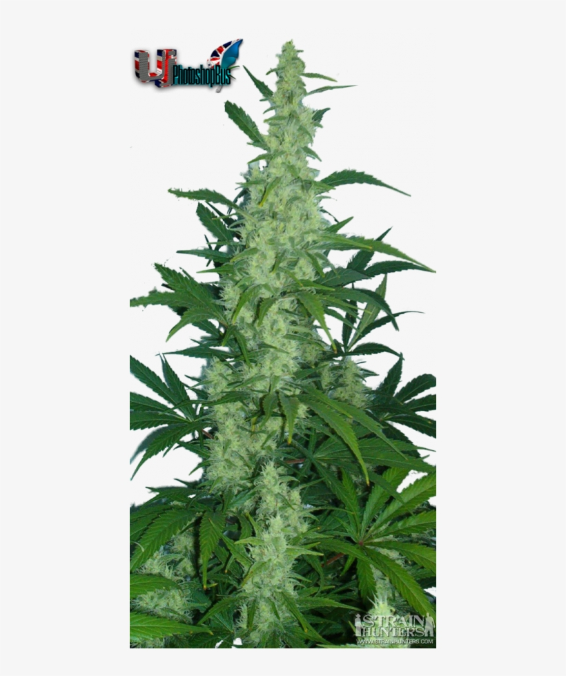 Growing Weed Plant Drawing - Northern Lights Cannabis - Free
