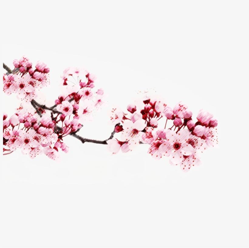 Transparent Japanese Cherry Blossom Tree - Transparent Japanese Cherry Blossom Png, transparent png #9739233