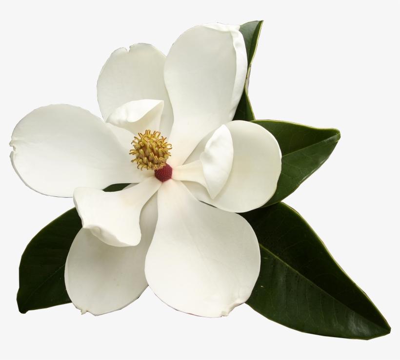Southern Magnolia Virginia Sweetspire Flower Garden Magnolia