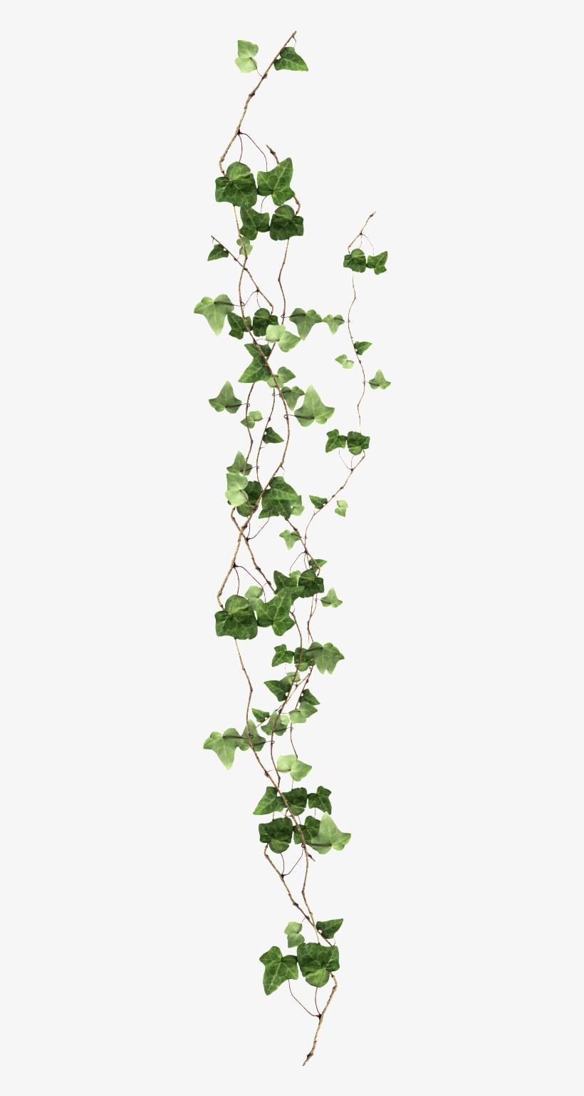 Long Vine Transparent - Ivy Png, transparent png #995572