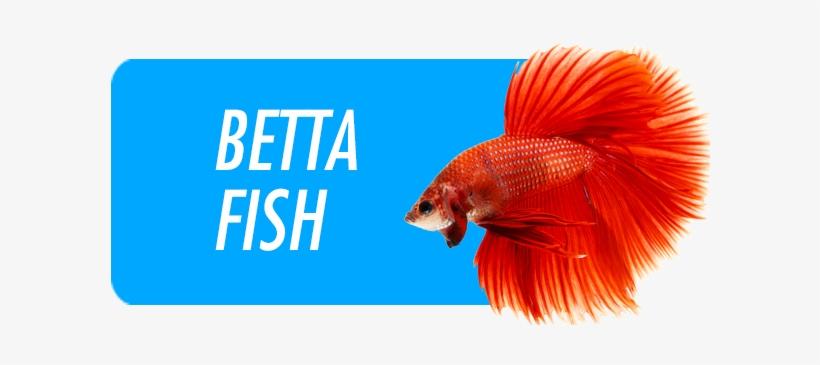Betta Fish - Capa Do Livro A Meta, transparent png #996024