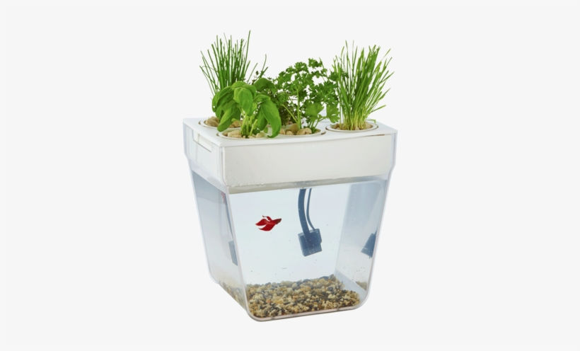A Betta Fish Is A Great Pet For The Whole Family - Betta Fish Tanks, transparent png #996206