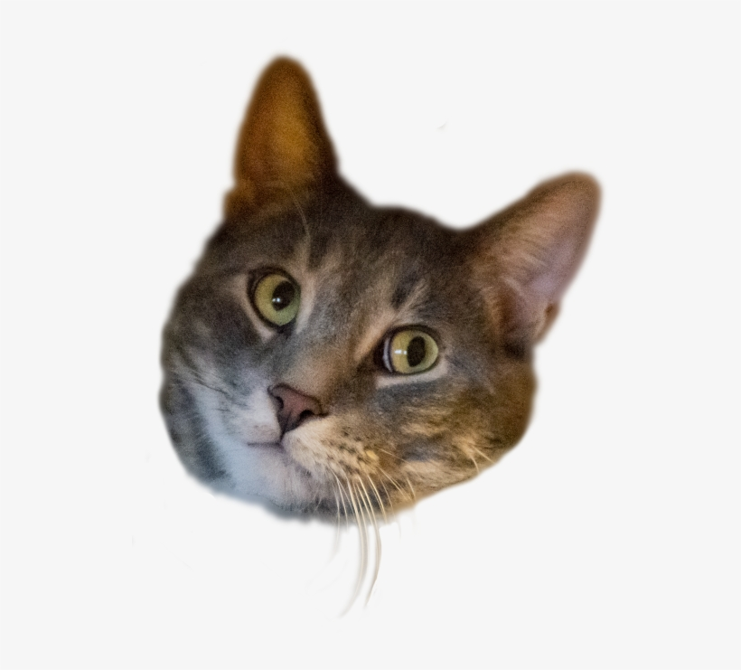 Here Is My Cat's Head, Transparent - Domestic Short-haired Cat, transparent png #9901903