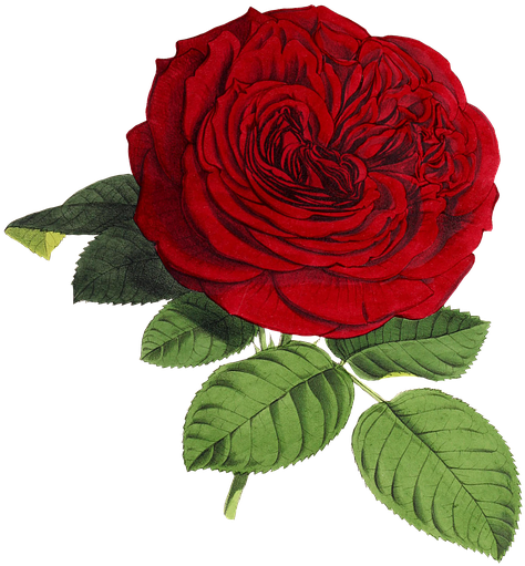 Rose Flower Flowers Red Green Isolated Vintage