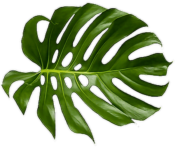 Download Tropical Palm Png Tropical Palm Leaf Png Png Image With No Background Pngkey Com All from our global community of videographers and motion graphics designers. download tropical palm png tropical