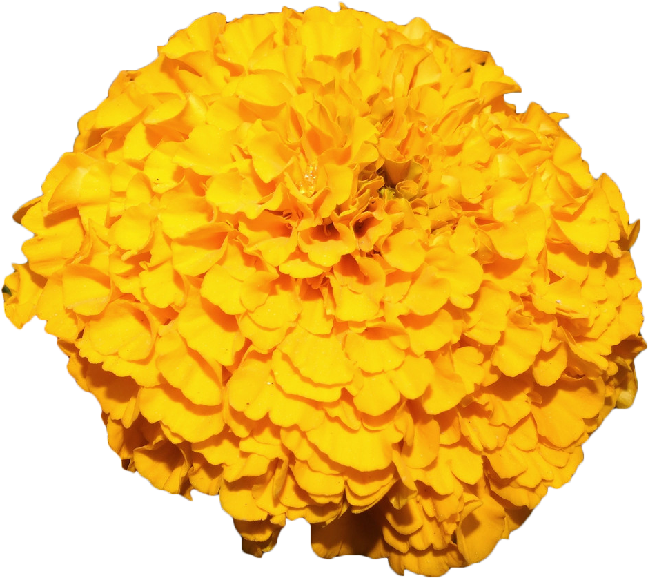 Download Mexican Marigold Flower Yellow Marigold Flower Yellow Png