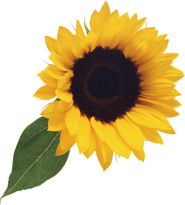 Free Sunflower Clipart Png - Sunflower Clip Art No ...
