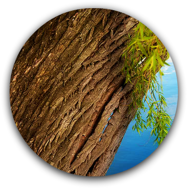 Willow Bark - Willow Tree Bark (367x377), Png Download