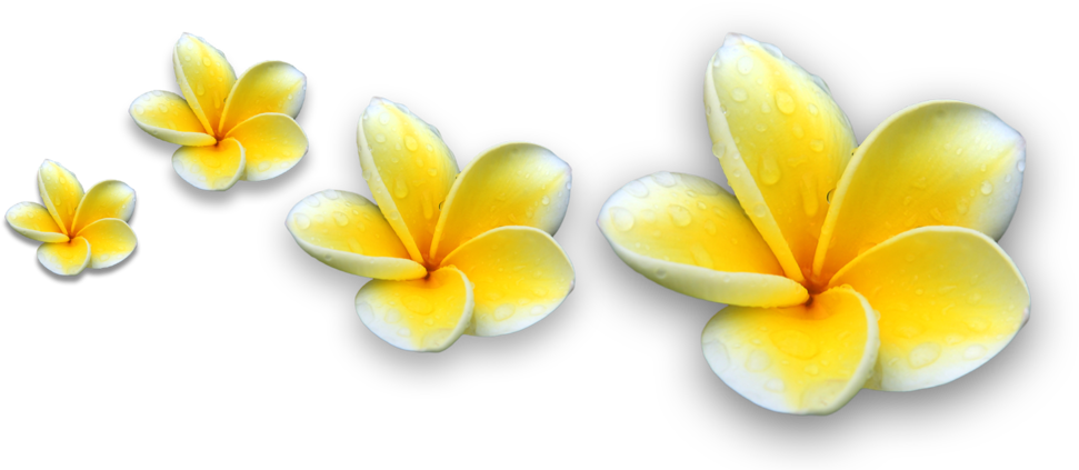 Download Picture Bunga Kamboja Bali Png Png Image With No Background Pngkey Com