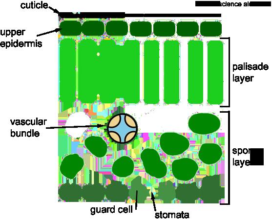 cross sectional diagram of a leaf showing epidermis, - inside a leaf simple  (557x451