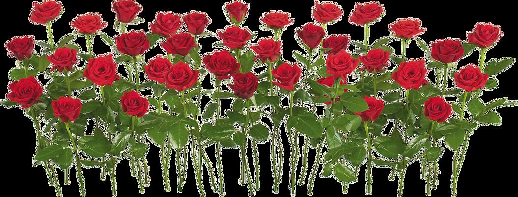 Download Free Png Red Rose Png Images Transparent - Red Rose