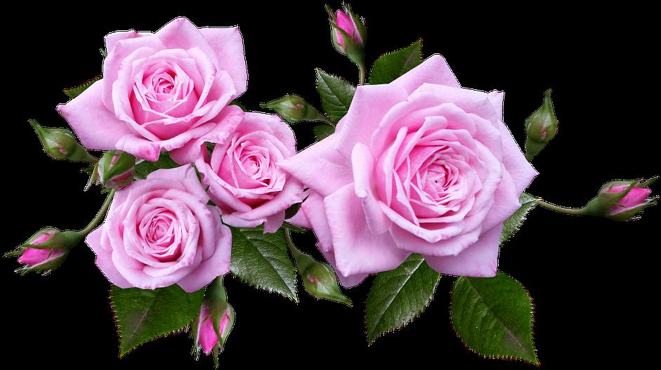 Rose, Flower, Arrangement, Plant - Pink Roses Transparent Background (960x535), Png Download