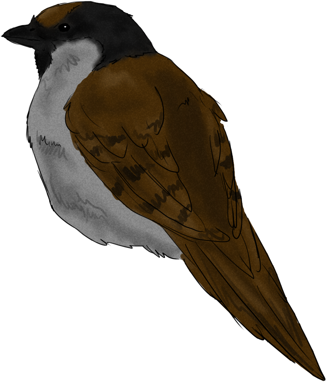 Download Sparrow Sketch Swallow Png Image With No Background Pngkey Com