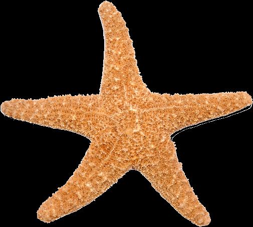 Si La Estrella De Mar Pierde Uno De Sus Brazos, No - Estrella De Mar Png (520x476), Png Download