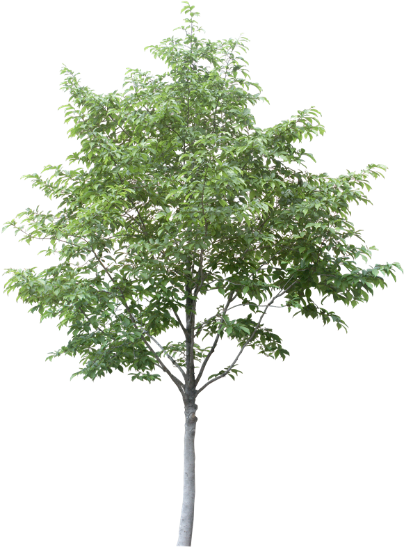 Free Arboles En Planta Png - Aspen Tree Cut Out (603x800), Png Download