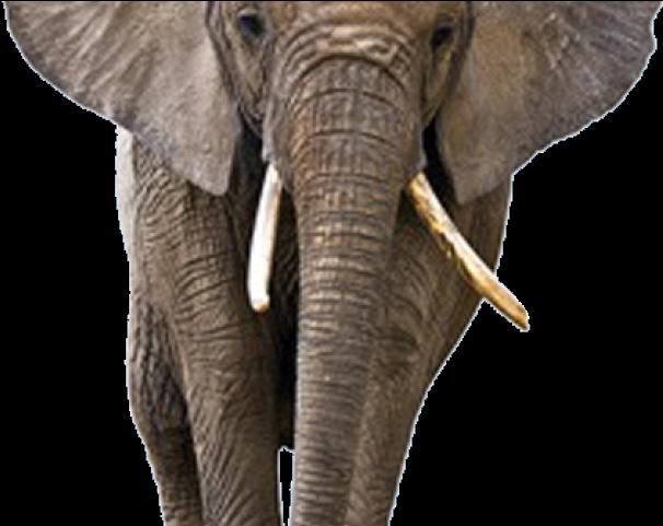 Download Elephant Png Transparent Images Transparent Background Elephant Png Png Image With No Background Pngkey Com Find high quality elephant clipart, all png clipart images with transparent backgroud can be download for free! transparent background elephant png png