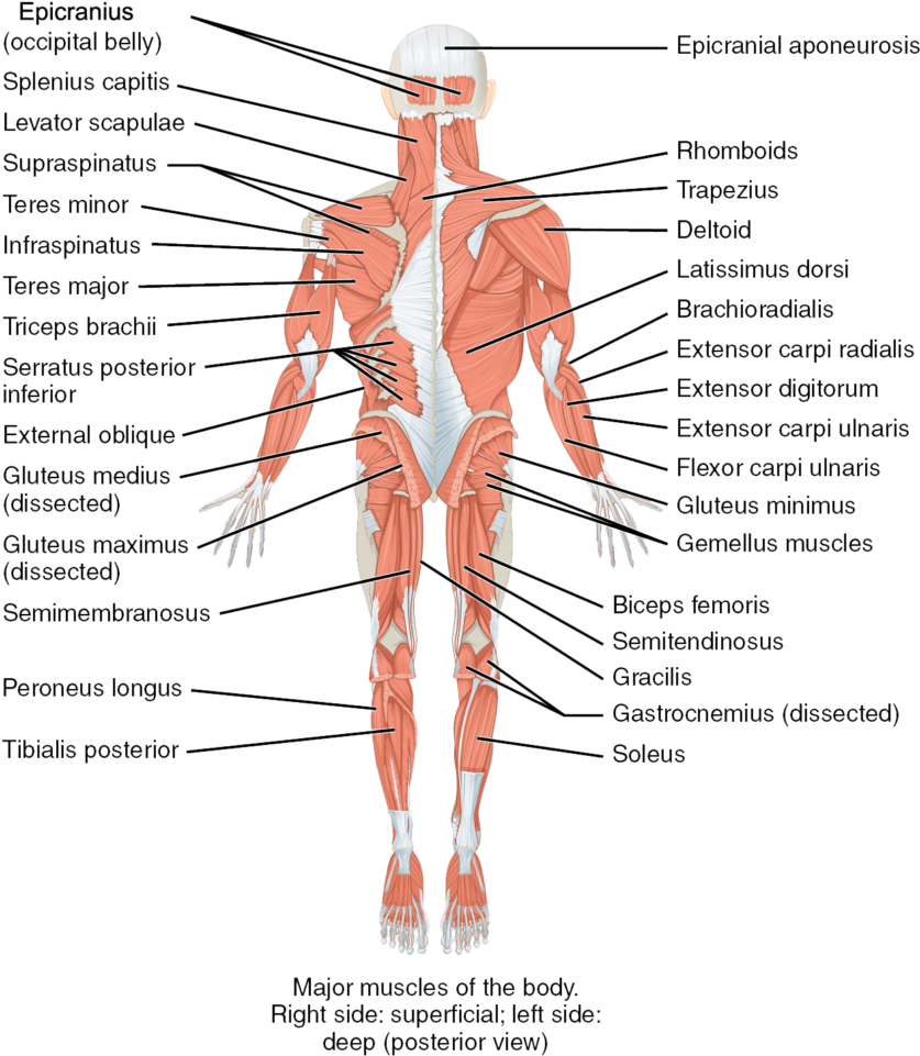 Download Trunk Human Body The Muscles Of The Trunk Human Anatomy