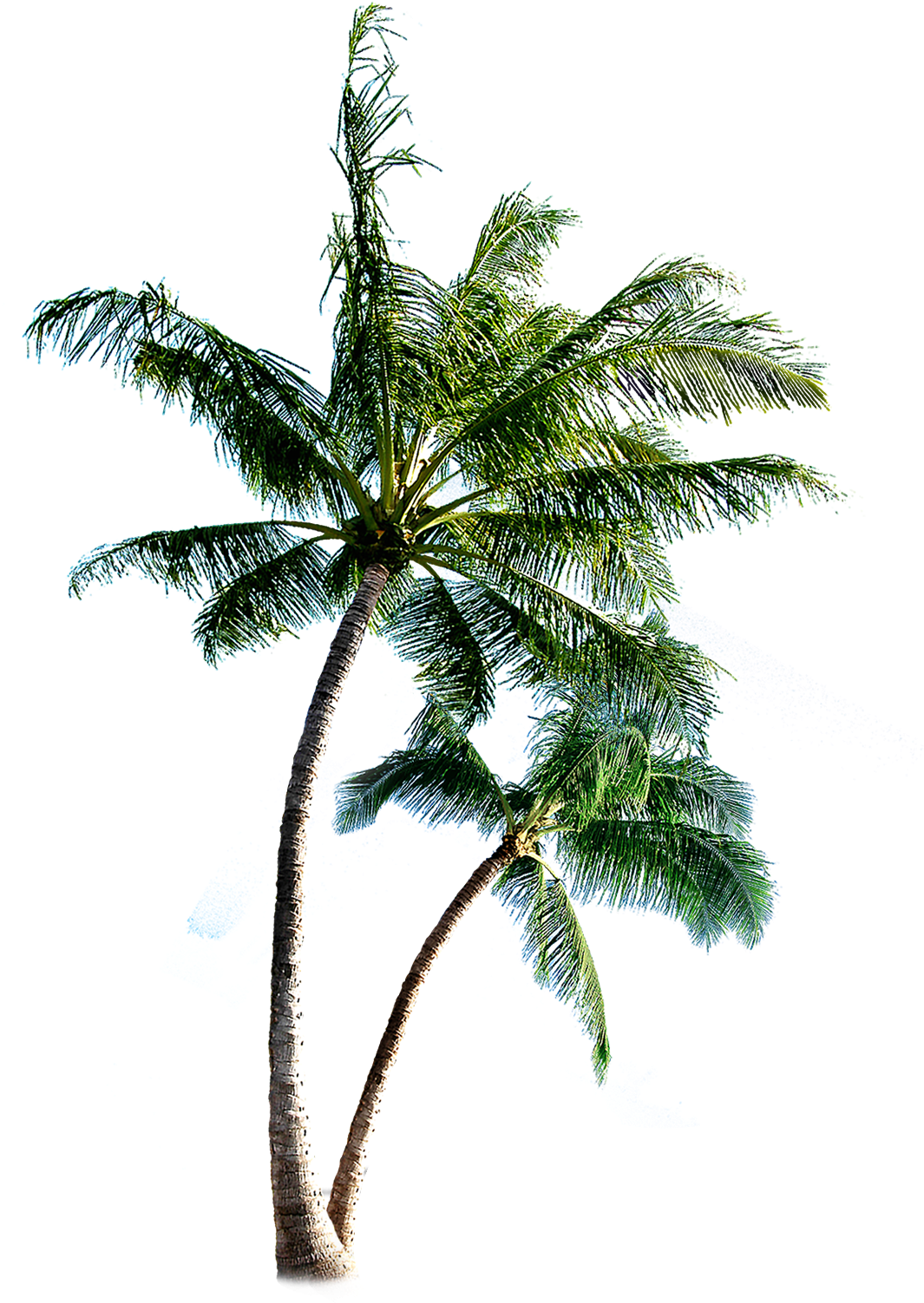 Download Coqueiros png Palm Tree Transparent Tumblr