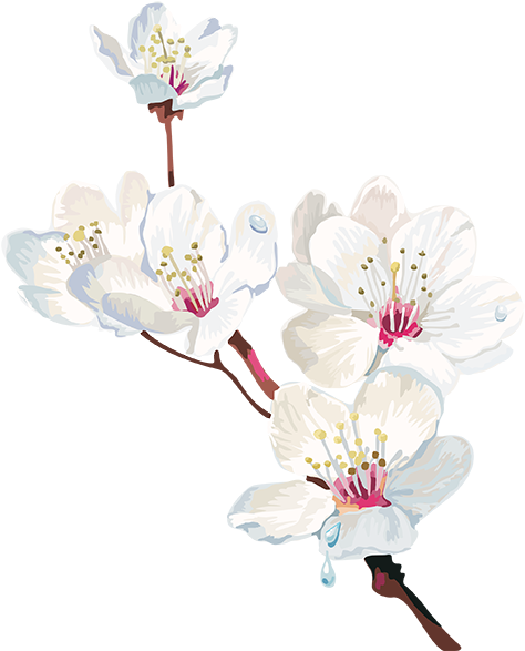 Tubes Arbres / Arbustes / Feuillages Cherry Blossom - Png Watercolor Cherry Blosom (500x588), Png Download