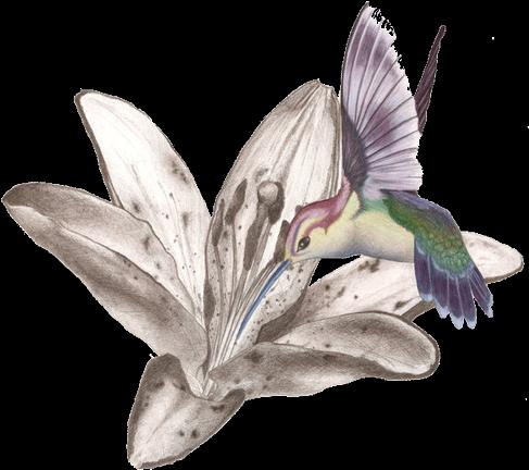 Download Hummingbird Tattoos Free Png Image Kolibri Tattoo Flash