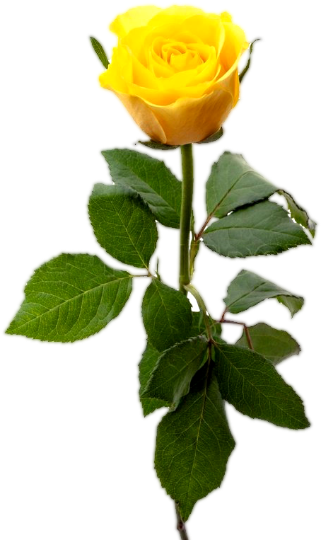 Download Yellow Rose With Leaf Yellow Rose Flower Png Single