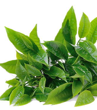 Download Image Of Green Tea Body Butter Green Tea Leaf Png Png Image With No Background Pngkey Com
