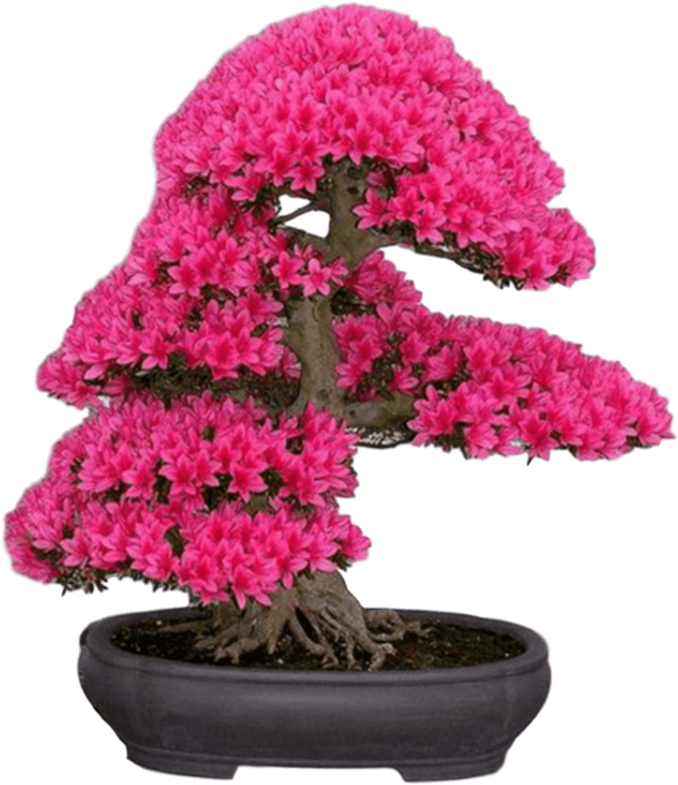 New Japanese Cherry Blossom Seeds A Rare Japanese Variety, - Japanese Sakura Bonsai Flower Tree Seeds (1021x1200), Png Download