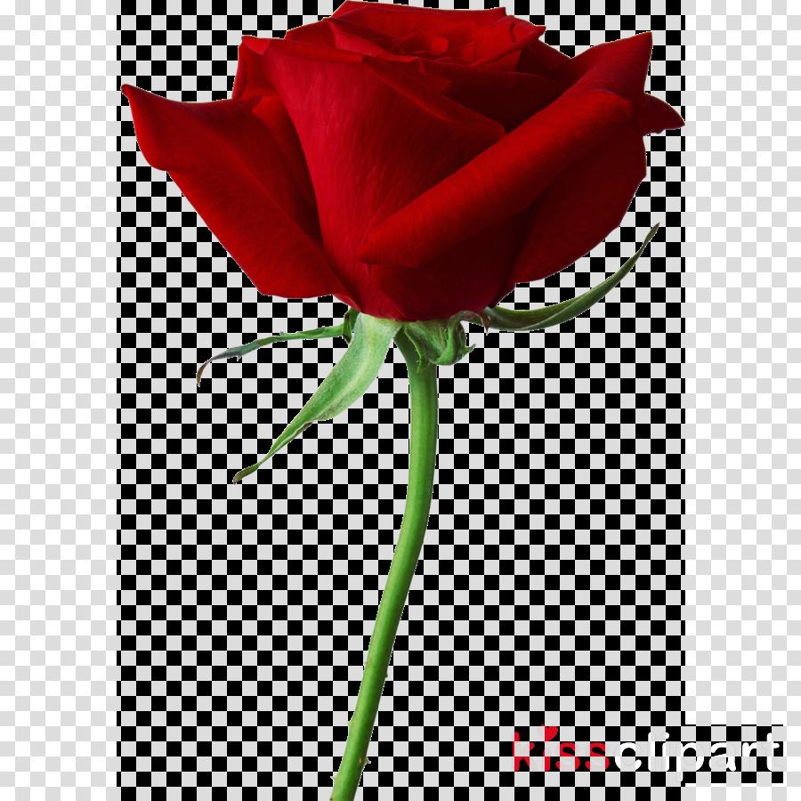 Download Black Rose Clipart True Blood Black Rose Seeds Real Black