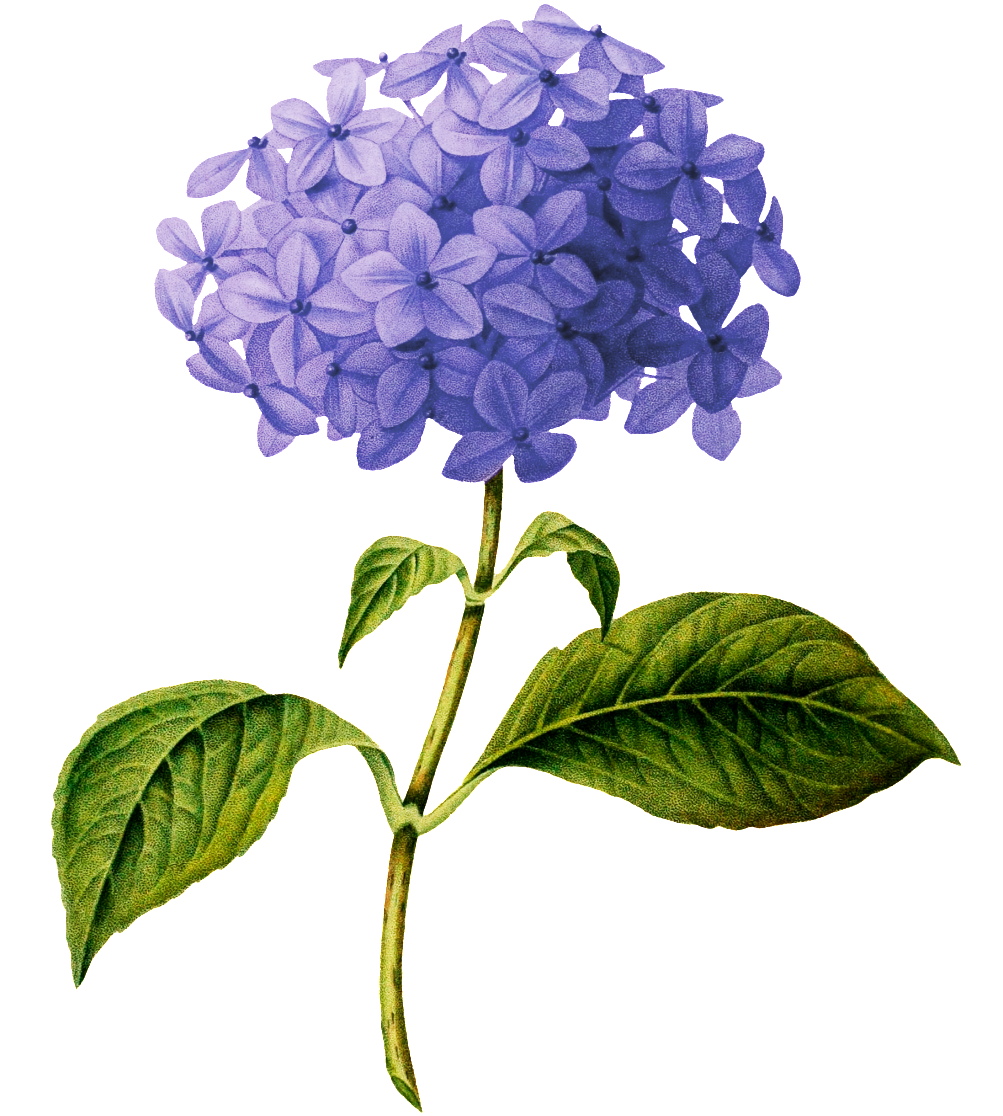 Beautiful Purple Flower Transparent - Hydrangea Botanical Drawing (1024x1214), Png Download