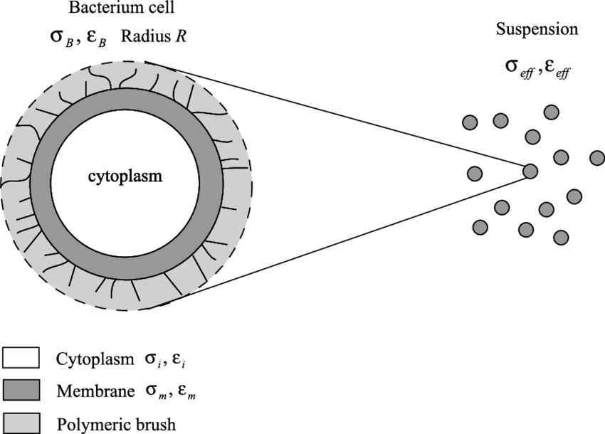 Download Sketch Of The Geometry Of The Bacteria Used To Build Cytoplasm Sketch Png Image With No Background Pngkey Com