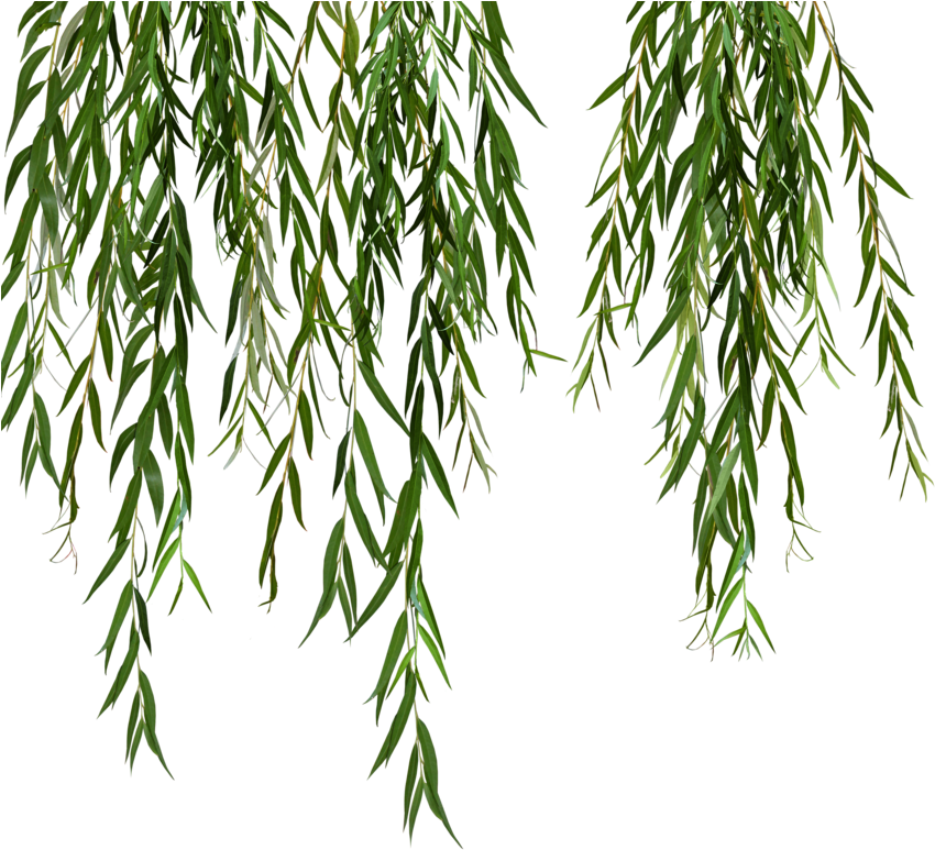 Download Willow Svg Black And White Stock Weeping Willow Tree Png Leaves Png Image With No Background Pngkey Com,Best Cheap Champagne For Wedding Toast
