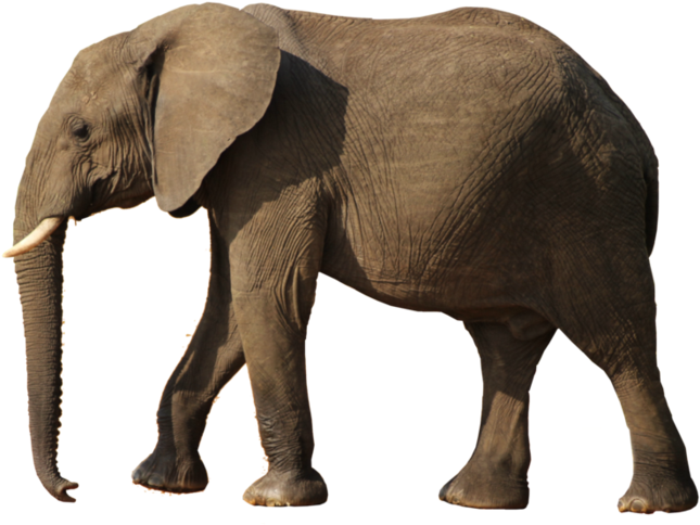 Download Elephant Png Elephant Png Image With No Background Pngkey Com This png has a resolution of 658x448. download elephant png elephant png